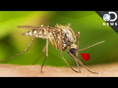 Why Are Mosquitoes So Good at Carrying Disease?