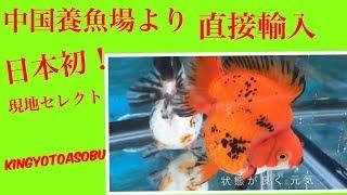 琉金ショートテール 中国現地セレクト 金魚と遊ぶ.com thumbnail
