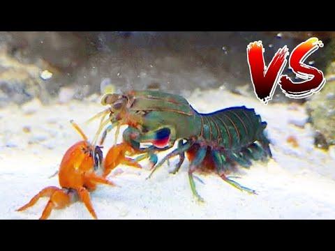 Red Crab VS Giant Mantis Shrimp!