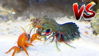Red Crab VS Giant Mantis Shrimp!