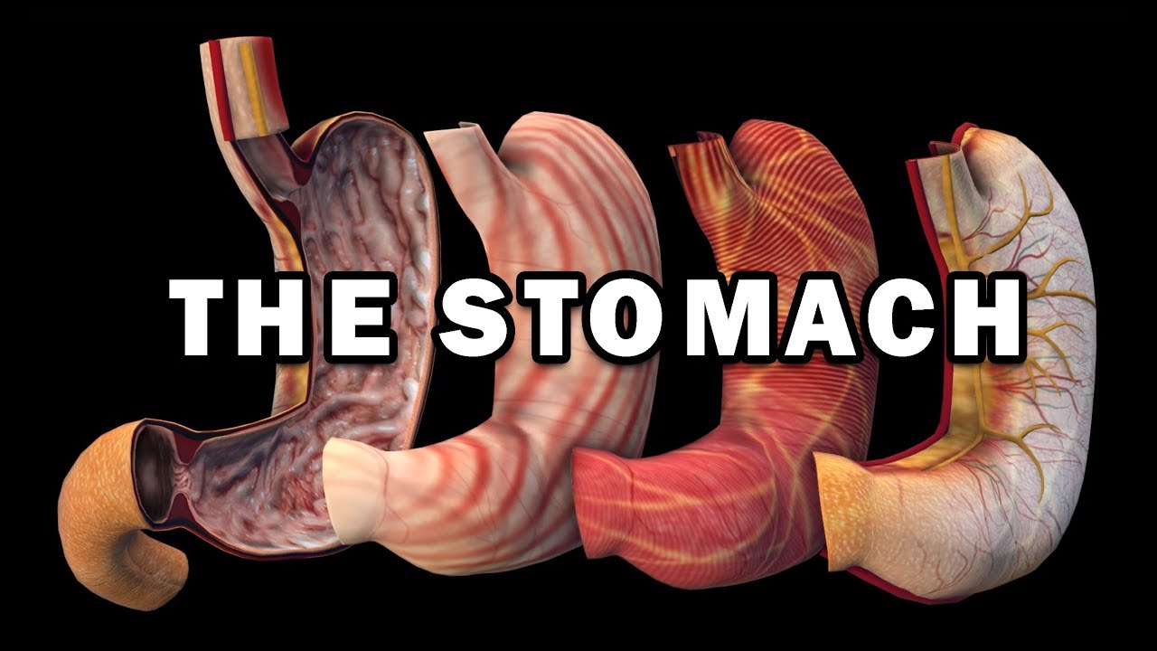 Download STOMACH ANATOMY + STOMACH WALL LAYERS