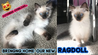 BRINGING OUR NEW RAGDOLL KITTEN HOME!!
