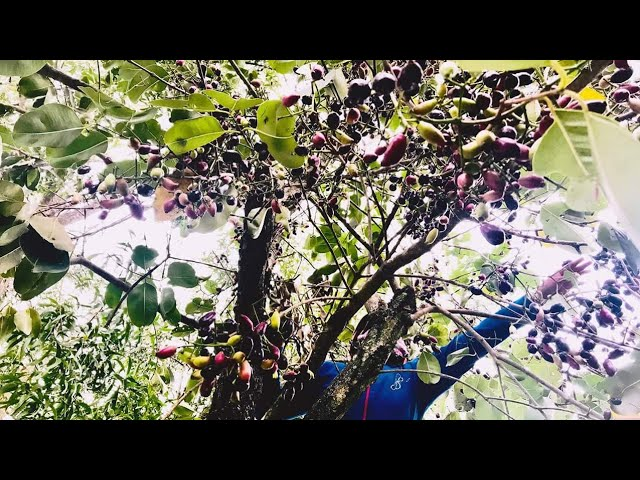 Phát thèm mùa trâm chín, về Củ Chi leo cây hái trâm ven đường