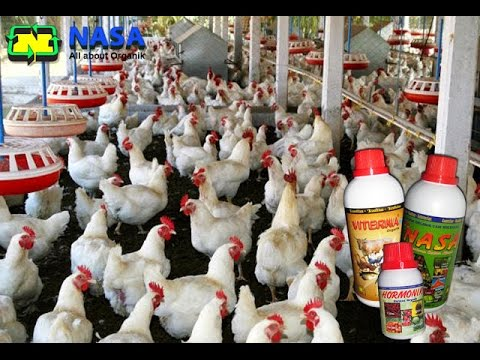 Bdidaya Ayam Broiler - Cara Beternak Ayam Broiler Agar ...