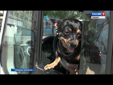 Пес-кондуктор работает в одном из маршрутных такси Омска