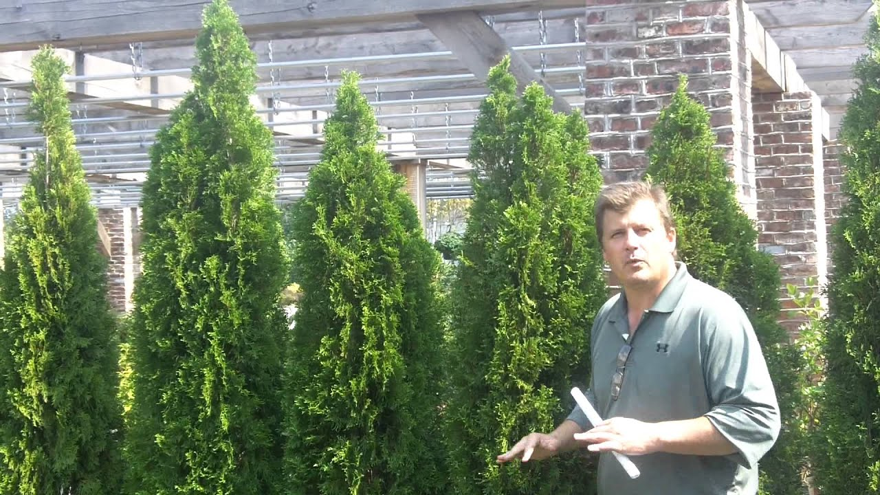 Thuja Emerald Green Privacy Screen Youtube