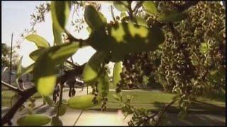 The end of cedar season in San Antonio?