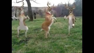 Tańczące renifery????
