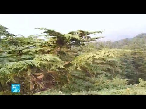 أشجار الأرز في لبنان تواجه تهديدا بالانقراض..والسبب؟  - نشر قبل 49 دقيقة