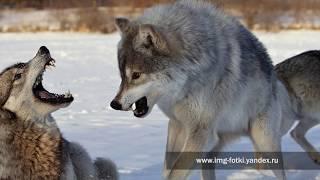 Охота на оленя на Таймыре и в Гренландии