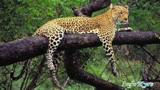 Животные мира Леопарды Желанное место животных Жестокая Африка Ботсвана Хищники Самые скрытные кошки