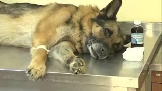 Вирусные, инфекционные заболевания у домашних животных.