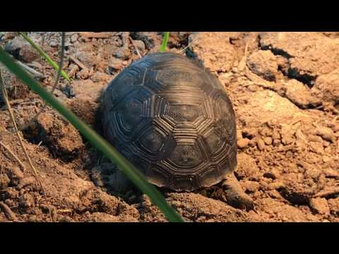 Watch: baby Aldabra Tortoise taking a stroll here at Tortoise town!