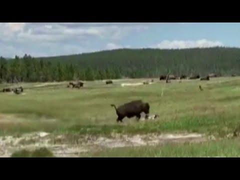 Download Montana woman plays dead to avoid bison attack
