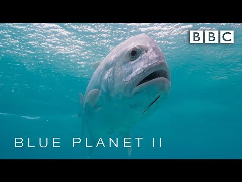 Predator Fish Leaps Out Of Water To Catch Bird | Blue Planet II - BBC