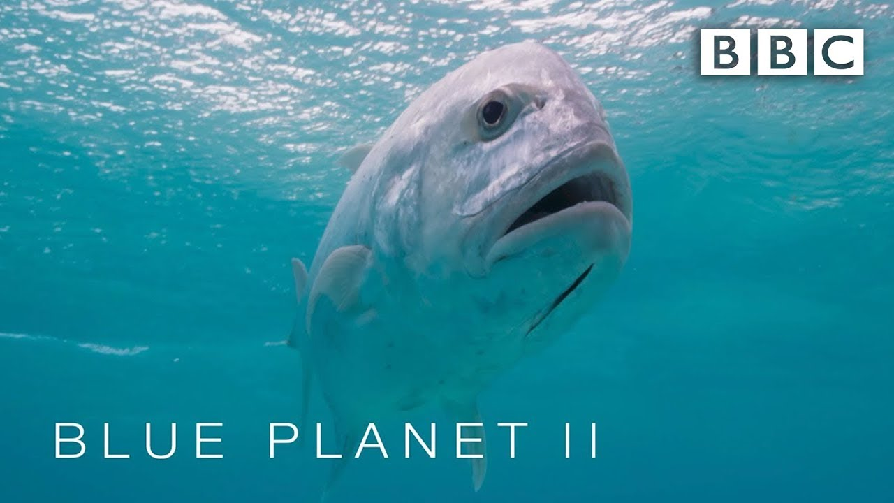 Giant trevally fish eats bird - Blue Planet II: Episode 1 Preview - BBC One