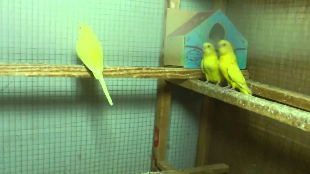 طيور حب عيون حمر Youtube