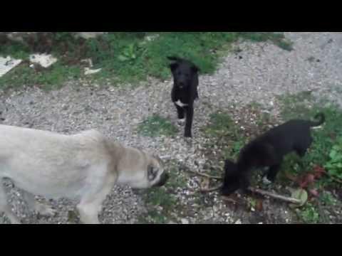 puppies-and-the-mother-dog-in-the-village-:)-&-köyde-yavru-köpekler-ve-anne-köpek.-dscf5162