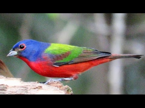 Painted Buntings - Birds Nonpareil