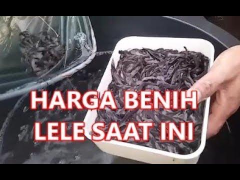 Harga Benih Lele Ukuran 3 4 5 6 7 8 Di Cara Budidaya Lele Kolam Beton Youtube