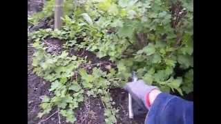 agrest-wiosenne przerzedzanie krzewu.przycinamy agrest