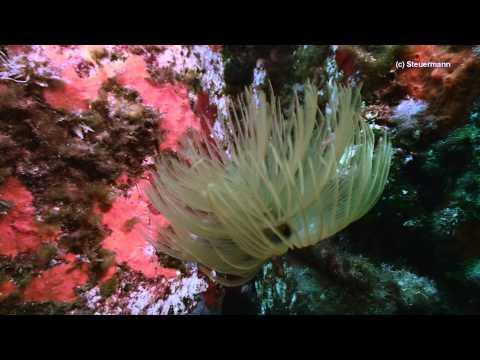 European Fan worm - Sabella spallanzanii