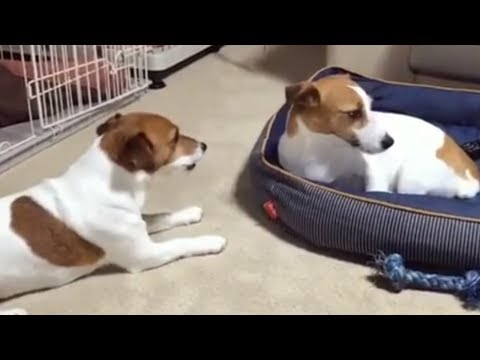 Tony Sandoval on The Breeze - Dog steals sibling's bed, totally unfazed by Angry Barking