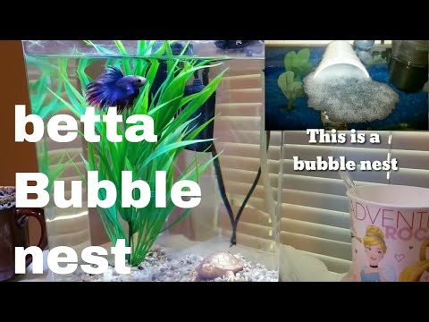 BETTA BUBBLE NEST MEANING 2017