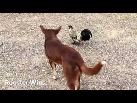 Red cloud kelpie, stand off with Rooster