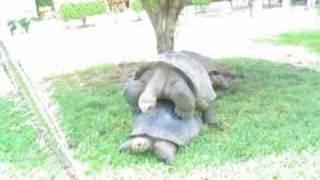 galapagos turtles making love. Very slow