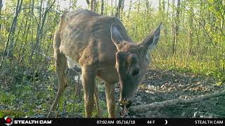 stealthcam g45ng pro: young male deer with antlers budding comes right up to cam thumbnail