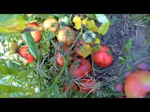 Розовый детерменантный   томат вернер f1