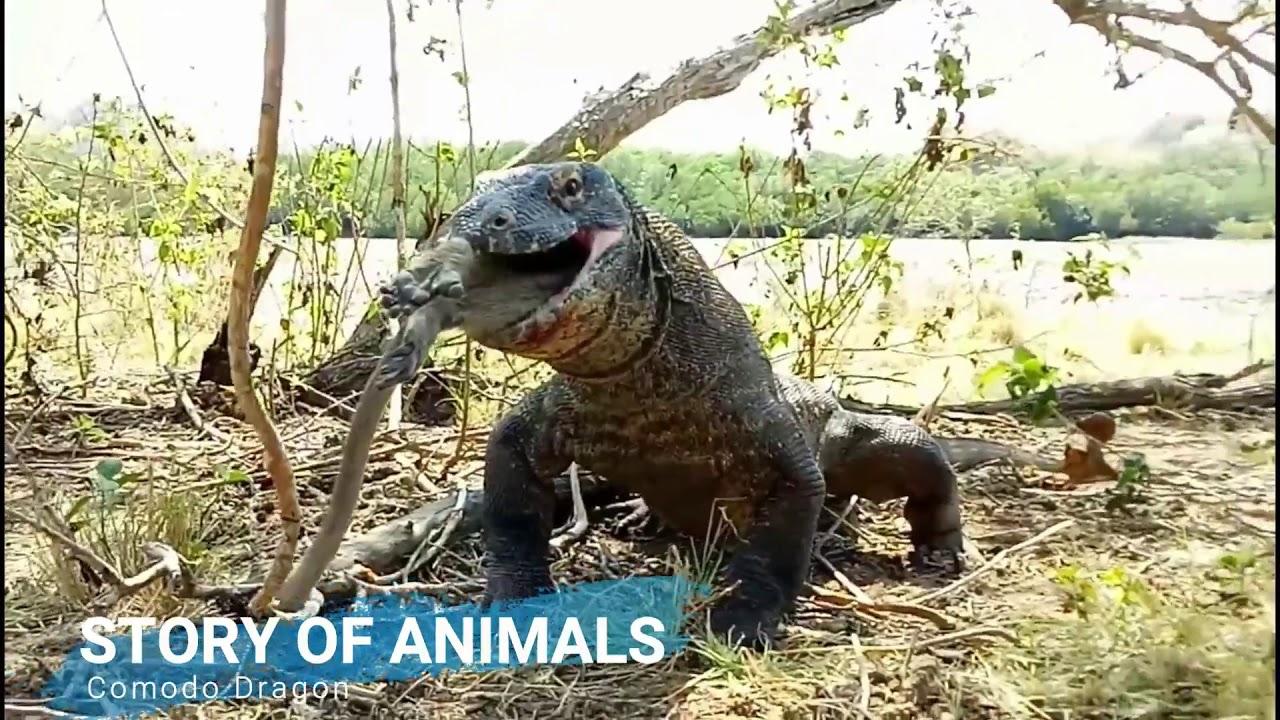 komodo dragon vs monkey youtube