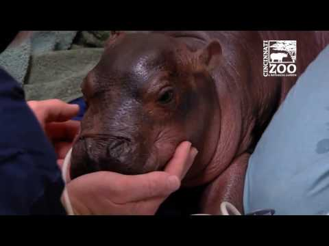 Premature Baby Hippo Getting Care from Cincinnati Zoo Vets