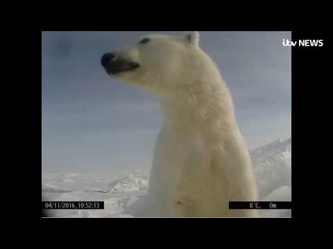 See life through the eyes of a polar bear on the Arctic