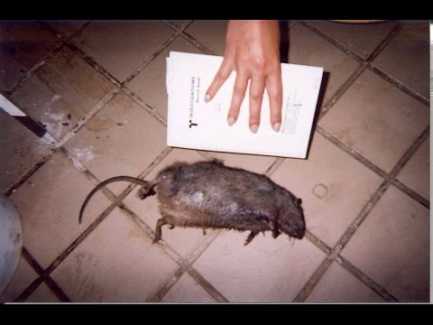 Dead Mouse At Restaurant Door Kitchen Nightmares