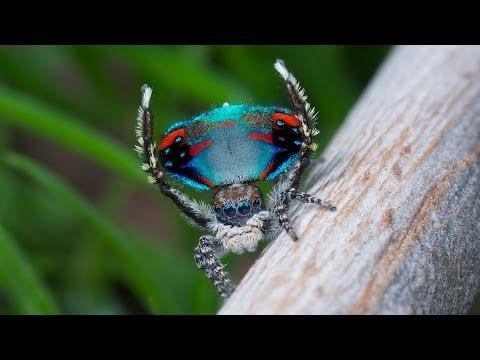 Peacock Spider 10 (Maratus avibus)