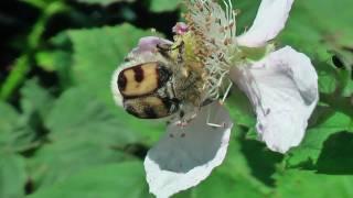 Trichius fasciatus , une Trichie fasciée au comportement étrange