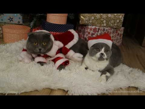 Christmas Planning- Scottish Fold Cats (Bossulica/ Shakira the Cat/ Briosica Muffin)