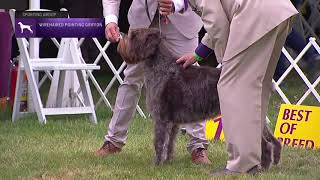Wirehaired Pointing Griffons   Breed Judging 2021