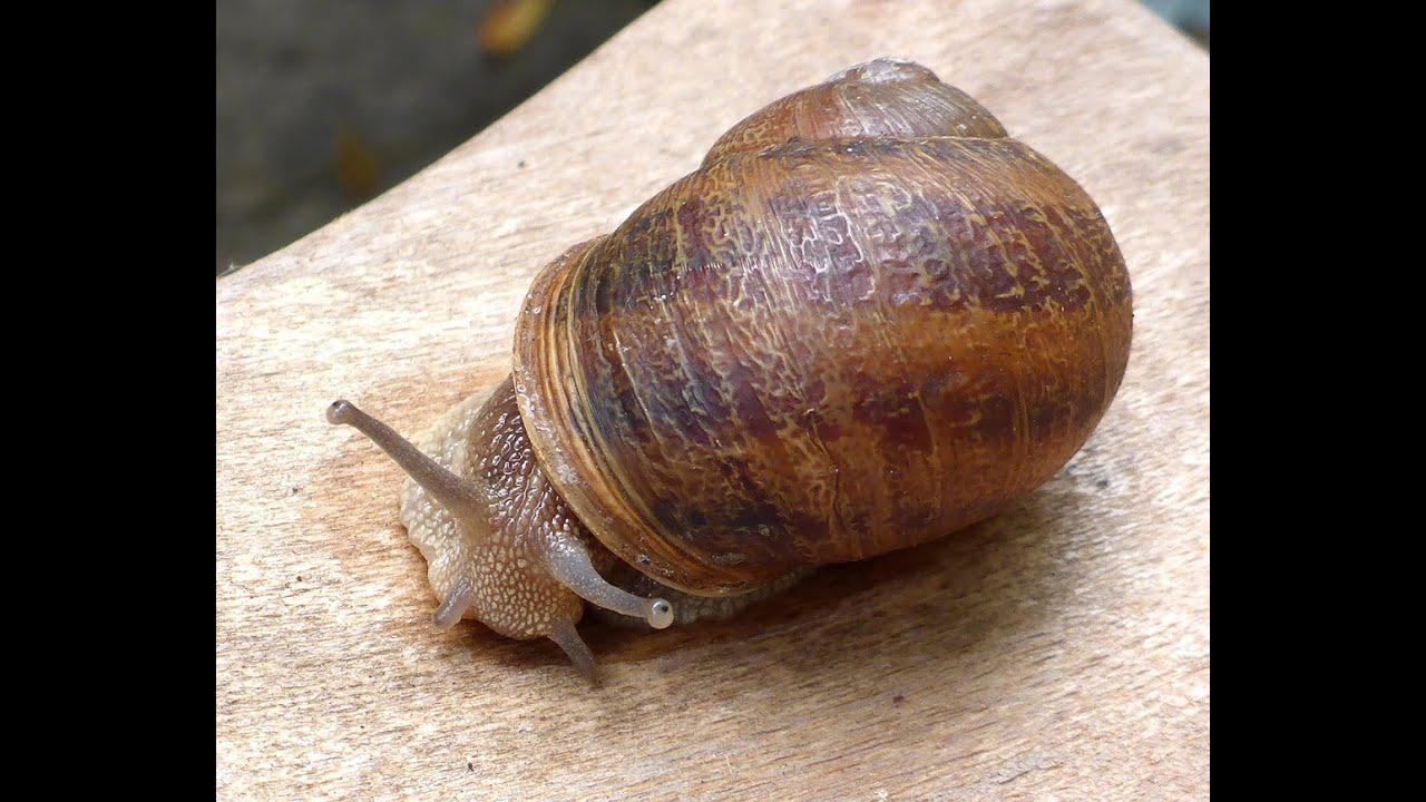 Cornu aspersum (Müller, 1774) Brown Garden Snail - YouTube