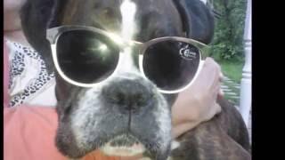 Забавные собаки. Немецкий боксер Пэрри. Часть 2