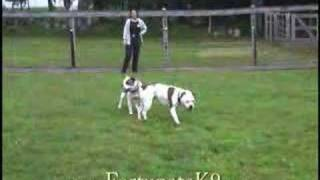 This Video Is Unavailable.     Olde English Bulldogges - Play Time At Fortunate K9