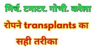 रोपाई का जुगाड़ .transplanting jugaad.Indian jugaad. tomato plantation.chilli। कृषि यंत्र जुगाड़