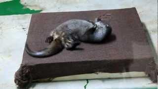 아기 수달 (baby otter) - ①