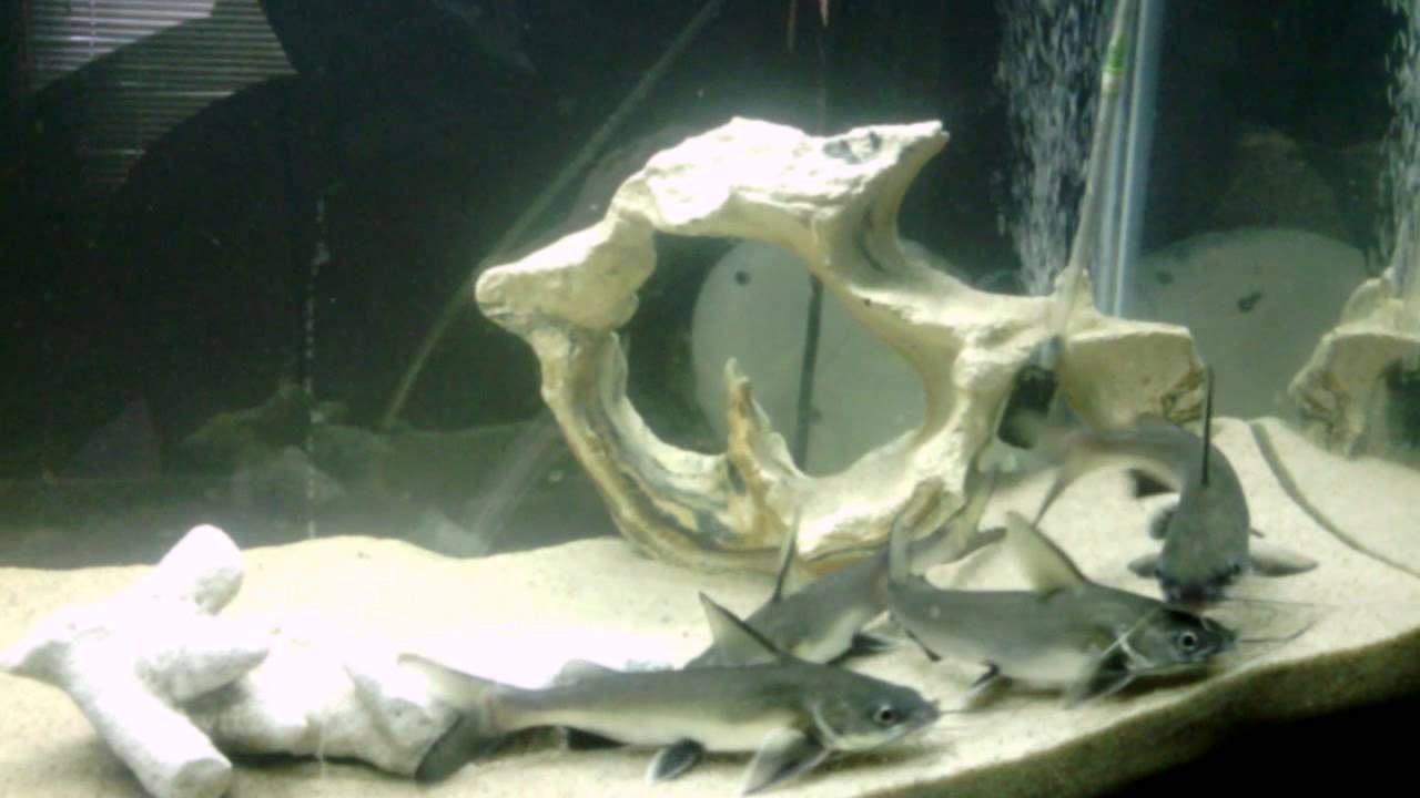Silver Tipped Sharks In Salt Water Youtube