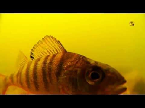 Окунь. Поплавочная удочка, подводные съемки, рыбалка онлайн