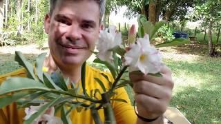 Polinização de Flores Triplas – Rosa do Deserto