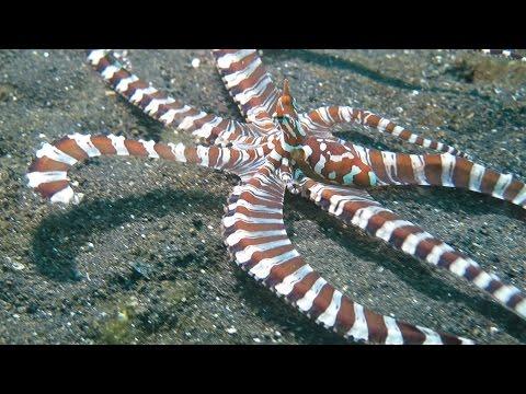 Amazing Wunderpus octopuses in Lembeh Strait, Indonesia