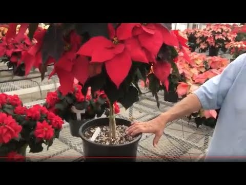 Poinsettia Care Tips How To Keep Your Poinsettia Looking Good This Year And Next Youtube